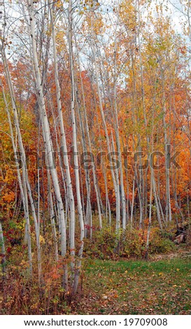 Autumn color in an aspen grove with maples.