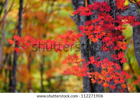 Autumn color of Japanese maple in Gifu prefecture, Japan