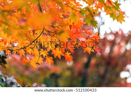 Autumn colored leaves on the tree in Korea #512100433