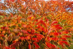 Autumn colored trees and leaves of Staghorn Sumac (Rhus hirta syn. Rhus typhina)