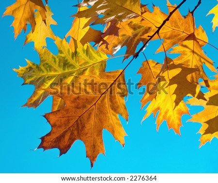 Autumn colorful foliage of oak (some translucent across a sun) on blue serene sky background