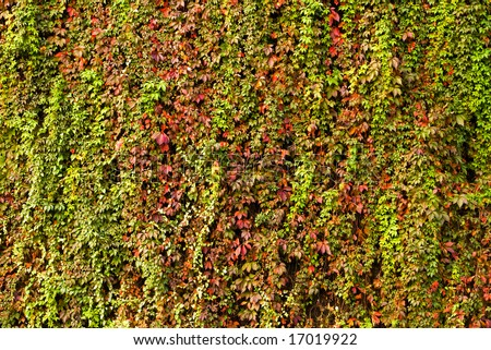 autumn colorful ivy background