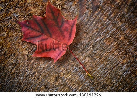 Autumn  colorful leaf of maple over wooden background