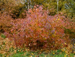 Autumn colorful red bushes in the park