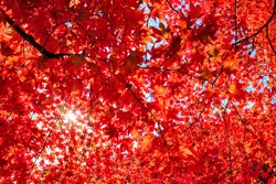 Autumn colorful red maple leaf of Japanese garden from under the maple tree.