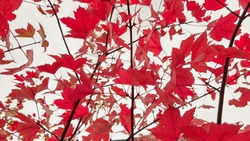 Autumn colorful red maple leaf of Japanese garden from under the maple tree. Autumn branch of maple tree with red leaves