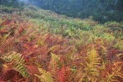 Autumn colors. Bright orange leaves of the fern in rainy weather. Golden autumn. Beautiful autumn background. Horizontal location, Copy space. Beautiful autumn fern. High Tatras national park.