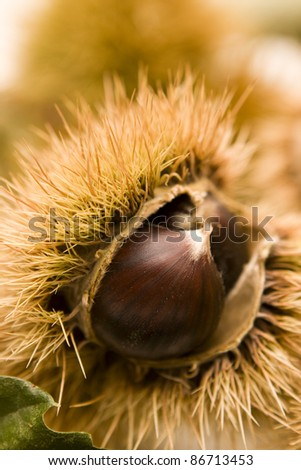 Autumn colors - Chestnut in a husk