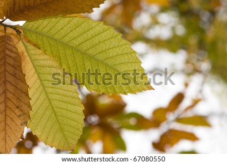 Autumn colors - close up of yellow leaves