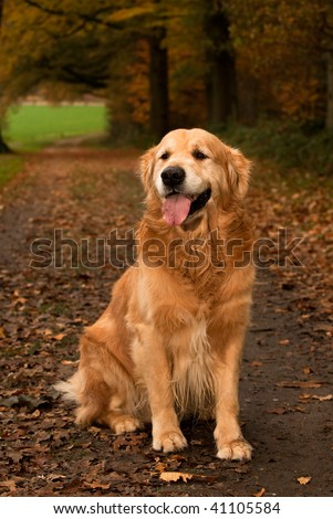 Autumn colors in forest with Golden Retriever