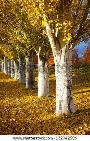 Autumn colors in the park in a row of poplars. Valladolid, Spain.