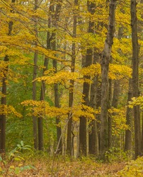 Autumn colors on a foggy day in Catoctin Mountain Park MD during late October.