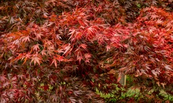 Autumn colour at Batsford arboretum, Morton-in-Marsh, Cotswolds UK