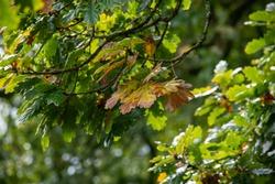 Autumn coloured oak laves on a tree
