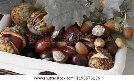 Autumn composition - brown chestnuts, some with crust, acorns in green hats and green oak leaves in a wicker basket. The picture was taken with selective color effect.