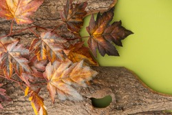 Autumn composition with maple leaves on the bark of a tree on a bright green background.