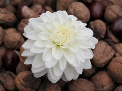Autumn concept with white decorative dahlia flower and a collection of walnuts and chestnuts