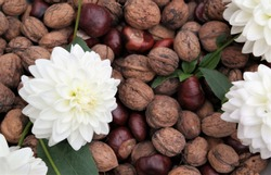Autumn concept with white decorative dahlia flowers and a collection of walnuts and chestnuts