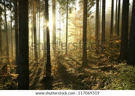 Autumn coniferous forest on a foggy morning.