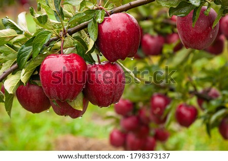 Autumn day. Rural garden. In the frame ripe red apples on a tree. It's raining Photographed in Ukraine,