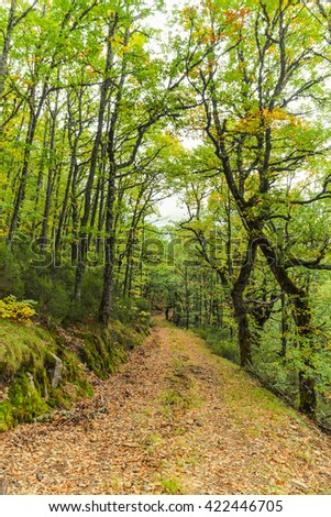 Autumn Dirt road and fallen leaves in forest of beech and oak  #422446705