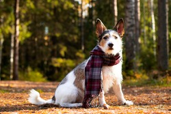 Autumn dog, a cute puppy with a scarf sits in colorful leaves in the forest. Looks at the sun's rays. Romantic, contented pet golden autumn, mood. Copy Space