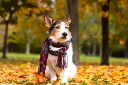 Autumn dog, a cute puppy with a scarf sits in colorful leaves in the park outside. A romantic, contented dog receives sun rays in golden autumn. Dog looks into the distance