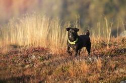 Autumn dog portrait patterdale terrier.Hunter dog in mountains.