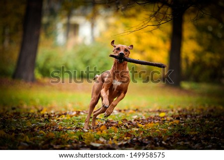 Autumn Dog Rhodesian Ridgeback #149958575
