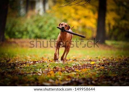 Autumn Dog Rhodesian Ridgeback #149958644