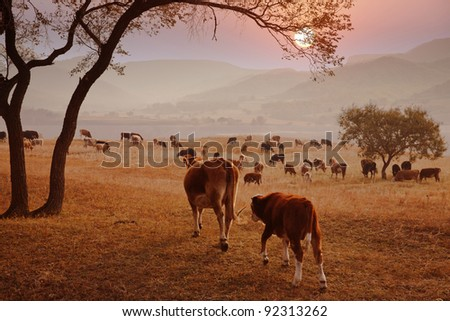 Autumn evening and cattle pastures