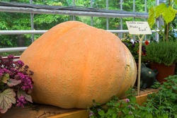 Autumn Exhibition of Agricultural Products.  Pumpkin (Cucurbita maxima) of the Atlantic Giant variety .
