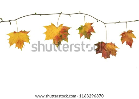 Autumn fall branch with maple  leaves isolated on white #1163296870