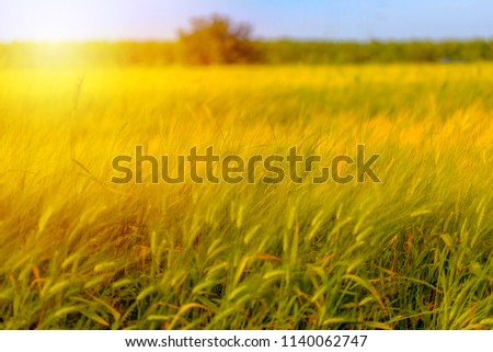 Autumn fall field outdoor background.Sunny day harvest, crop happy concept.Wheat yellow gold meadow blue sky.Copy space empty no body autumn sale background. #1140062747