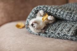 Autumn, Fall. Kitten sleep on knitted plaid. Little cut cat at home