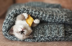 Autumn, Fall. Kitten sleep on knitted plaid. Little cut cat at home