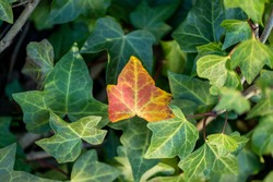 Autumn fall season background concept. Brown ivy leaf fallen on top of green leaves