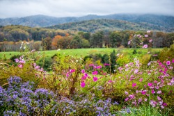 Autumn fall season rural countryside with foreground of many colorful beautiful flowers at winery vineyard in blue ridge mountains of Virginia with sky and rolling hills