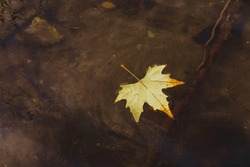 Autumn fallen leaf floating in the water of a river.