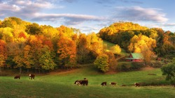 Autumn farm at the end of the day - cows on back roads near Boone North Carolina