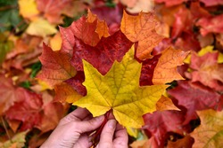 Autumn. Female hands hold colorful fallen leaves.