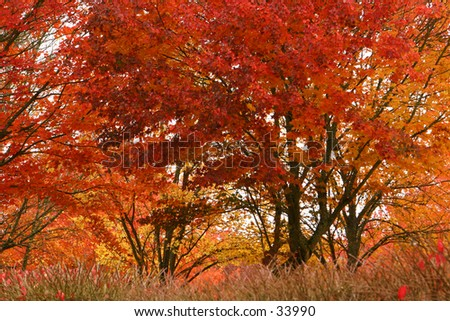 Autumn Fire Trees