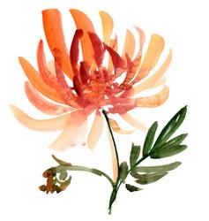 autumn flower handmade watercolour,  floral watercolor design element. red golden-daisy chrysanthemum