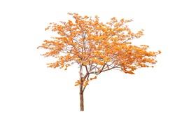 Autumn flower tree isolated on white background.