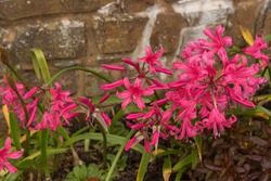 Autumn Flowering Bright Pink Nerine 'Zeal Giant' with a Stone Wall Background in a Country Cottage Garden