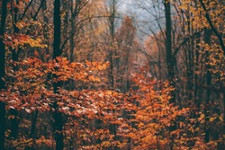 autumn foggy landscape in the middle of a wild deciduous forest. amazing multicolored leaves in the wild
