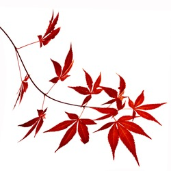 Autumn foliage , Japanese Red maple tree leaves  (Acer palmatum) Isolated on white background