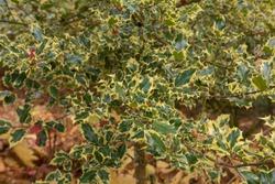 Autumn Foliage of an Ornamental Holly Tree (Ilex aquifolium 'Madame Briot') in a Woodland Garden