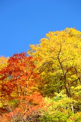 autumn forest  against blue sky in Iwate,Japan