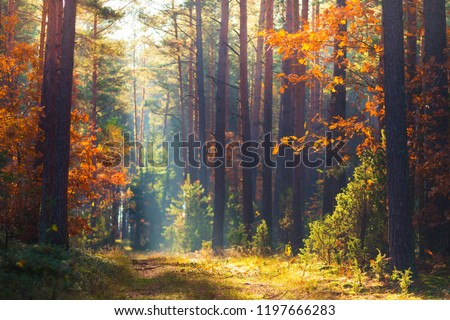 Autumn forest. Fall nature. Autumn picturesque background. Forest with mist and sunlight. Footpath in wood through trees with red orange leaves. Warm autumn day outdoors.